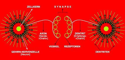 © Dieter Telfser 2006 — Jedes Neuron lässt sich mit einem elektrischen Generator vergleichen. Manche Neuronen sind ununterbrochen in Betrieb, während andere nur von Zeit zu Zeit aktiviert werden, wenn sie Signale von anderen Neuronen empfangen. Jede Nervenzelle erzeugt eine Spannung von ungefähr 20 Millivolt. Die Information wird durch die Impulsfrequenz verschlüsselt. Diese Elektrizität erkennen wir auf den Kurven des Elektroenzephalogramms. — Das Neuron besteht aus drei Teilen. 1. Dem Zellkörper, der den Kern enthält; 2. Den Dentriten, das heißt den Verzweigungen der »Empfängerdrähte«, die die Signale von anderen Neuronen auffangen; und 3. Dem Axon oder dem »Sendedraht«, über den die Signale nach Prüfung durch den Kern weitergegeben werden. — Der Sendedraht einer Zelle steht nicht in direktem Kontakt mit den Empfangsdrähten anderer Zellen. Beide Enden sind durch eine Spalte getrennt, die weniger als einen Millionstel Millimeter breit ist. Das Signal muss die »Synapse« genannte Spalte überspringen, um bei der nächsten Zelle den Prozess zu wiederholen. Gehirnsignale können diesen »Sprung« 500 bis 1000 mal in der Sekunde ausführen, doch die durchschnittliche Impulsfrequenz beträgt 100 mal pro Sekunde. — Es gibt keine konkrete elektrische Verbindung und keine Leitung des elektrischen Stroms zwischen einem Neuron und seinen Nachbarn. Der Sendedraht der Zelle endet in kleinen Proteinbläschen, die man synaptische Vesikel nennt. Die tatsächliche Übertragung des Signals an der Synapse geschieht durch eine chemische Reaktion. — Jene chemischen Substanzen, die von den synaptischen Vesikeln erzeugt werden, »spritzen« das Signal hinüber. Wenn Handlungen wiederholt und damit die Zellen in kurzen Abständen aktiviert werden, nehmen die synaptischen Vesikel nach Zahl und Größe zu, sodass der Abstand, den das Signal zu überspringen hat, kleiner wird. — Je mehr Vesikel es gibt, desto weniger Energie bedarf es zum Handeln; dadurch entstehen Gewohnheiten. — Je häufiger wir eine Handlu
